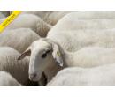 Pasení ovcí v Beskydech | esennce.cz